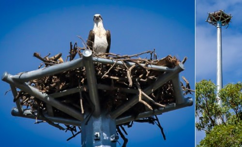 Wellington Point Osprey Nesting Tower